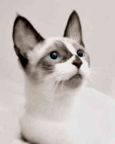 Lovely silk coat pure white hair ocean blue eyes     Light grey snowshoe cat also wide eyes pointed ears stringy white whiskers