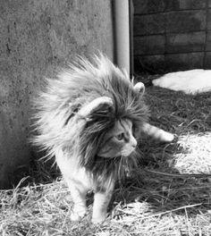 Lion Cat.