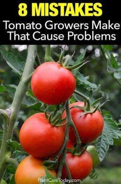 Growing Tomatoes Tips 8 mistakes growers make that cause tomato plant problems - Tomato plant problems, In this article we'll look at some of the mistakes to avoid when planting tomatoes, increase size, flavor, and overall plant output. Tomato Plant Care, Pruning Tomato Plants, Tomato Growers, Potted Tomato Plants, Tomato Tomato, Caring For Tomato Plants, Potted Flowers, Pot Plants, Tips For Growing Tomatoes
