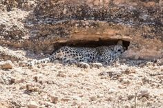 - Sorry,there being no wifi I neglected to post these sighting when I got home. We thought that although (apart from the all sightings were between Auchterlonie and Rooibrak they were different leopards. Cannot say much about the one in the cave! Leopards, Wifi, Cave, Caves