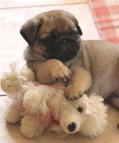You make me happy when the skies are gray.You are my baby yes you are. Cute Pug Puppy