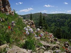 Summer Wildflowers, Summit County, Colorado by netbros, via Flickr