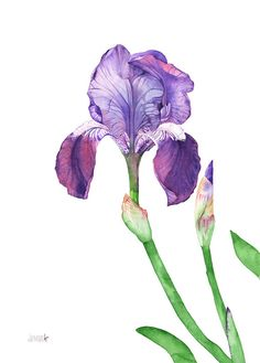Iris watercolor painting print Iris print Iris by LouiseDeMasi