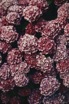 Hydrangeas - Pantone Color of 2015 - Marsala