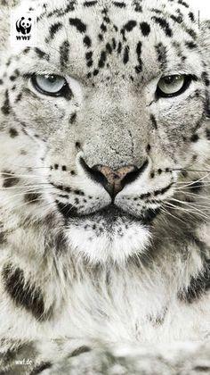Schneeleopard © Morten Koldby / WWF USA