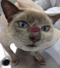 Cat with S brasiliensis - zoonotic fungal infection spreading quickly throughout brazil through feral and outdoor cats. Clown Nose, Animal Articles, Catholic University, Fungal Infection, Outdoor Cats, Feral Cats, Seizures, South America, Brazil
