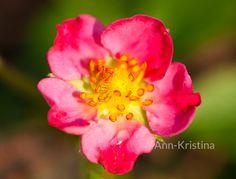 Ann-Kristina Al-Zalimi, Fragaria x rosea 'Pink Panda', koristemansikka, rosensmultron, strawberry, berry, flora, flower, fragaria, mansikka