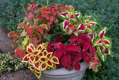 I love to plant Coleus in large containers Great color.Shade is their friend!