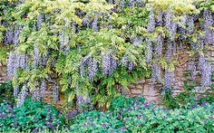 How to make wisteria bloom & how to grow in a smaller garden