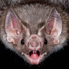 This Vampire Bat is totally stoked for today's live chat with @SaveTheBats! Join in at 11am PT. Rick | explore.org/bats