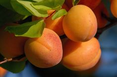 The Wachau apricot Apricot Tree, Apricot Blossom, Kinds Of Fruits, Market Garden, Pink And White Flowers, Orange You Glad, Top Restaurants, Natural Cosmetics, Tray Bakes