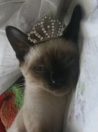 Siamese Kittens A Siamese cat wearing a crown. Was there ever any question about this? Beautiful Cats, Animals Beautiful, Cute Animals, Animals Images, Wild Animals, Baby Animals, Siamese Kittens, Cats And Kittens, Crazy Cat Lady
