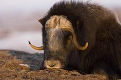 ~~ Snoozing Musk Ox ~~. Photo by Tim Grams