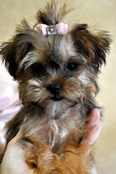 Teacup Shorkie Puppies-saw one at the groomer today---SO CUTE!!!  Schnauzer/yorkie not shit zhu- yorkie