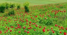 Bujor de stepă (Paeonia tenuifolia)-Rezervaţia de Bujori de Stepă-RO Paeonia Tenuifolia, Flora, Pumpkin, Red, Pumpkins, Plants, Squash