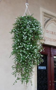 bacopa sutera cascade verte pinterest container gardening gardens and garden ideas. Black Bedroom Furniture Sets. Home Design Ideas