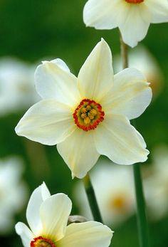 Narcissi 'Pheasant's Eye'