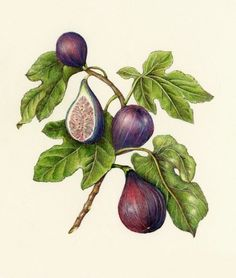 Image result for botanical drawings fig tree