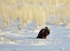 Research aims to protect eagles from wind turbines