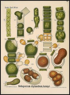 "Plant biology species posters and plates. Click through to the ""original"" size, which will be large enough to print. Aren't these awesome? Wouldn't 4-5 be neat on a wall?"