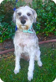 Pictures of BARNEY a Schnauzer (Miniature) Mix for adoption in Irvine, CA who needs a loving home.