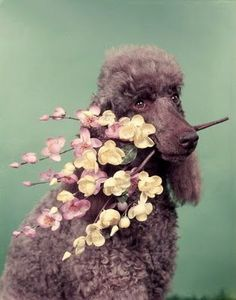 """""""Hey, I'm the flower poodle. Why do you think I'm carrying flowers?"""""""