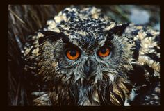 Wet friend (Bubo Bubo) Eurasian eagle owl