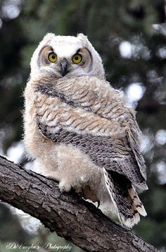 The Second Oldest Owlet out of Three. Beautiful colors on this owl. Beautiful Owl, Animals Beautiful, Cute Animals, Owl Pictures, Horned Owl, Owl Bird, Tier Fotos, Baby Owls, Owl Babies