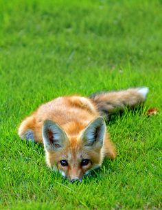 Red Fox Kit adorably up to no good.