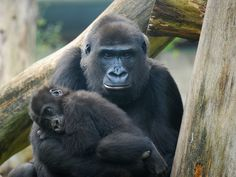 Ebola's Other Victims: One-Third of the World's Gorillas and Chimpanzees. Some estimate that since the 1990s, Ebola has become the number one threat to great apes in Africa.