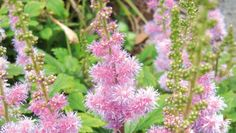Eight plants for water gardens and bogs. Dwarf Chinese astilbe, Astilbe chinensis var. pumila, is one of the latest of the Chinese astilbes to flower. It stands ...