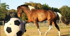 Training: Play & Precision. I thought this was great!  @The Red Barn  can we get the horses one of these giant soccer balls? LOL Seriously thought the article was cool.
