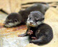 水こわごわ、コツメカワウソ赤ちゃん公開 福岡市動物園:朝日新聞デジタル