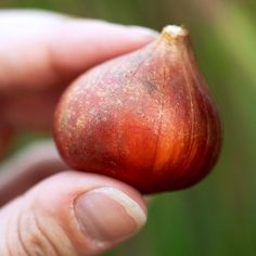 Most high-quality tulip bulbs will be 2 to 3 inches tall and should be planted about 6 to 10 inches deep. Most high-quality tu Daffodil Bulbs, Tulip Bulbs, Bulb Flowers, Daffodils, Spring Flowering Bulbs, Spring Bulbs, Spring Blooms, Types Of Tulips, Planting Tulips