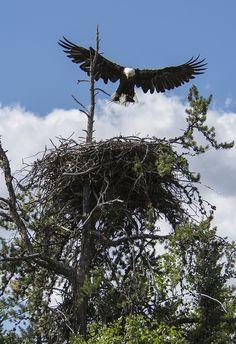 Bald Eagle Nest Building   Flickr - Photo Sharing!