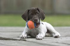 German shorthaired pointer | Dog Time - puppy photo, puppy picture on ...