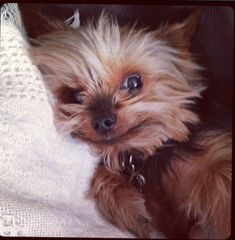 The Popular Pet and Lap Dog: Yorkshire Terrier - Champion Dogs Cute Puppies, Cute Dogs, Dogs And Puppies, Poodle Puppies, Yorkies, Yorkshire, Baby Animals, Cute Animals, Yorshire Terrier