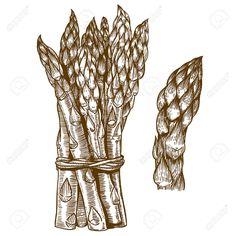 34612678-vector-set-of-engraving-illustration-of-asparagus-on-white-background-Stock-Vector.jpg (1300×1300)