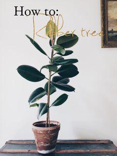 Ugens planteguide: Gummitræ