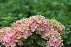 Hydrangea  'Fantasia®' an linke Hecke pflanzen. Erledigt.