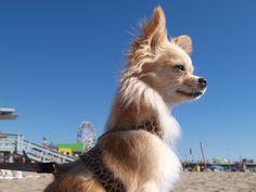 Celeb spotting: dog model, Peluche, taking in the gorgeous Santa Monica ocean views.