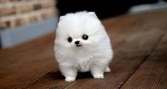 WHAT #BREED IS THIS?!  #white #fluffy