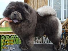 blue CHOW CHOW - Google Search