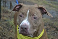 Staten Island Center  PROXIMO - A0726660** RETURNED 1/2/14 ***DID WELL ON BEHAVIOR EVAL.  NEUTERED MALE  BROWN / WHITE PIT  TER, 7 yrs  OWN SUR 01/02/2014 House trained, active and loves to play. Pulled hard during walk. Friendly w/ the assessor but whined, anxious? Relaxed during handling and did not get aroused when playing tag. Calm when the assessor took back the food bowl while he was eating, no food guarding concerns.Rushed toward the helper dog, then appeared friendly when near.