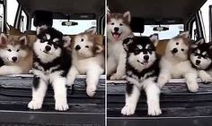It's a puppy dance party! Watch adorable moment Alaskan Malamute litter hear music for the very first time - and are very confused