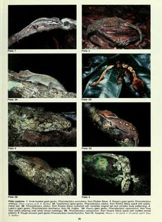 New data on the distribution, status, and biology of the New Caledonian giant geckos (Squamata: Diplodactylidae: Rhacodactylus spp.) - BioSt...