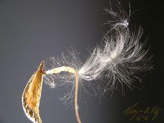 Milkweed pod nebula