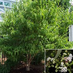 """Seven Sons Flower, Heptacodium Miconoides Zone 4. Upright with loose, open branching grows 6-12""""/ year. Clusters of creamy white fragrant blossoms Aug-Sep. Pink seed clusters in fall  Dark green leaves, may develop a yellowish fall color  Soil: Moist, well-drained, acidic (pH 4.5-6.0), high in organic matter, drought tolerant.  Attractive peeling tan bark provides winter interest. Full sun to part sun/part shade. Deer resistant, drought tolerant. Size:12-15'x12-15' North Facing Garden, Low Maintenance Plants, Organic Matter, Drought Tolerant, Creamy White, Green Leaves, Seeds, Size 12, Flowers"""