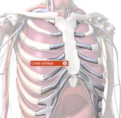 Costal Cartilage Anatomy, Function & Diagram | Body Maps