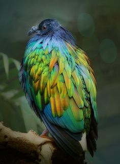 The Nicobar Pigeon is found on small islands and in coastal regions from the Nicobar Islands, east through the Malay Archipelago, to the Solomons and Palau. It is the only living member of the genus Caloenas.